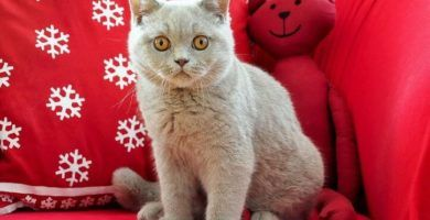 cachorros de British Shorthair